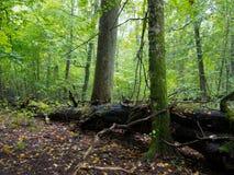Old hornbeam trees and broken oak Stock Photos