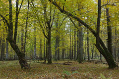 Old hornbeam trees in fall Royalty Free Stock Images