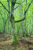 Old hornbeam trunk. Forest landscape reserve in the Bialowieza Forest in the end of summer,poland Royalty Free Stock Photography