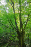 Old hornbeam. In the wood Stock Images
