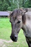 Old horse Royalty Free Stock Photography