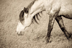 Old horse Royalty Free Stock Images