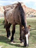 This Old Horse. Old haggard horse grazing on a ranch in New Mexico Stock Photo