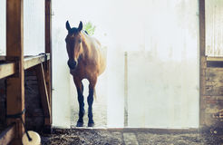 Free Old Horse At The Entrance To The Stables With Vertical Blinds Royalty Free Stock Photography - 56528737