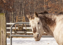 Old Horse With Bored Expression Royalty Free Stock Image
