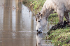 Old horse drinking Royalty Free Stock Photography