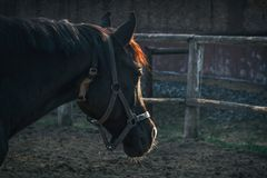 Old horse in harness on the background of a stable at sunset of his age royalty free stock photos