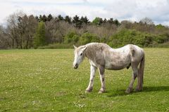 Old horse in a meadow with dandelions royalty free stock photo