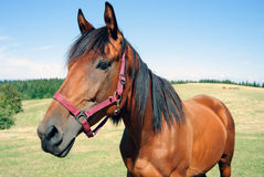 Old horse posing in the field Royalty Free Stock Image