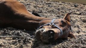 Old horse resting outdoors stock footage