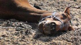 Old horse resting outdoors stock video footage