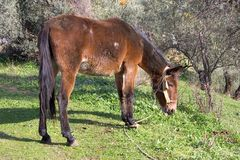 Old horse tethered Royalty Free Stock Photography