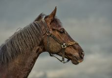 Old horse. A horse who is 25 years old Royalty Free Stock Photo