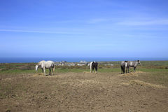 Old Horses grazing Cornwall England. Old Horses grazing on a coastal farm in Cornwall England Stock Photography