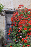 Old house. Abandoned old house surrounded by red flowers Stock Images