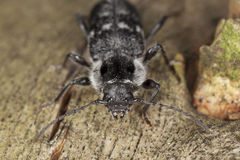 Old house borer (Hylotrupes bajulus) Stock Photos