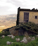 Old house building with sheep. Serie 02/02 - Flock of sheep in green field outside old house Farm with dry landscape in background. Sicily Italy stock photos