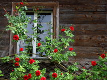 Old house entwined by red roses Stock Photos