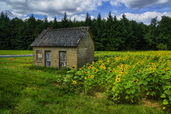 The old house in the field of sunflowers. On the wood suburb Royalty Free Stock Photo