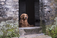 Old house in front of a golden retriever, Royalty Free Stock Photography