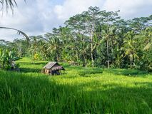 Old house in green rice field. stock photo