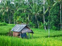 Old house in green rice field. stock photos