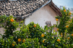 Old house and orange trees with fruits Royalty Free Stock Photo