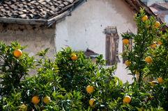 Old house and orange trees with fruits Stock Image