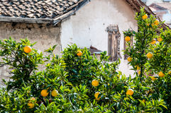 Old house and orange trees with fruits Stock Images