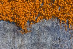 Old house overgrown orange lichen, Sao Miguel Island, Azores. Archipelago, Portugal royalty free stock photography