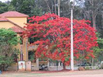 An old house and red flamboyant. A big house Central In Buenopolis near railway line and Eucalyptus forest .It is a great touristc center of the city stock photography