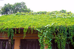 Old House roof covered with vines and trees. Stock Image