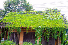 Old House roof covered with vines and trees. Royalty Free Stock Photo