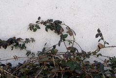 Old house wall. With dry blackberry branches Royalty Free Stock Images