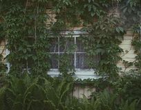 Old house window green plants village summer outdoor. Old house window outdoor garden village summer green plants liana leaves wood wall royalty free stock images