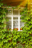 Old house window and wild grape leafs. Close up photo of old house window and wild grape leafs Stock Photos