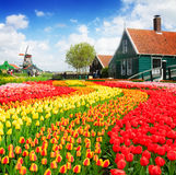 Old  houses of Zaanse Schans, Netherlands. Rural dutch scenery of small old houses and canal with windmill and tulips rows, Netherlands Royalty Free Stock Photography