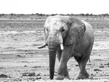 Old huge african elephant standing in dry land of Etosha National Park, Namibia, Africa royalty free stock image
