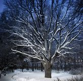 Old huge oak in winter park in twilight Royalty Free Stock Photography