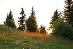 Old huge spruces and mountain meadow in light of sunset stock images