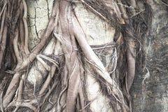 Huge tree root texture background stock image