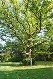 Old huge tree sycamore or plane tree lat. Platanus in the Sunny Park of the Vorontsov Palace in Alupka. One man can`t wrap his arms around a gun royalty free stock image