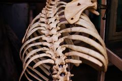 Old human rib skeleton. View from the back royalty free stock photo