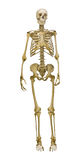 Old human skeleton illustration on white background Royalty Free Stock Image