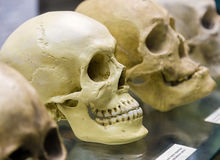 Old human skull in museum Royalty Free Stock Images