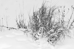 Old hummock grass on snow of monochrome tone closeup Stock Photo