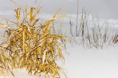 Old hummock grass on snow of natural color closeup Royalty Free Stock Photography