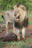 Old hungry male lion rests after killing warthog to eat. Old hungry male lion rests after killing a warthog to eat Stock Photos