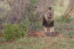 Old hungry male lion rests after killing warthog to eat. Old hungry male lion rests after killing a warthog to eat Stock Photography