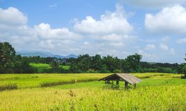 An old hut in the yellow green rice field. stock image
